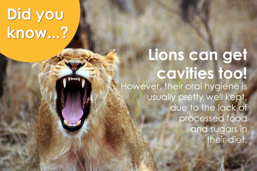 Did you know that lions can get cavities too?